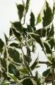 Seidenpflanze bunt Ficus Hawai Höhe 150 cm ohne Blumentopf